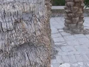داستان درخت حنانه ودرخت متحرك